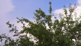 Branch of Apple tree stock footage