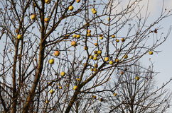 Branch of an apple-tree with fruits without leaves Royalty Free Stock Image