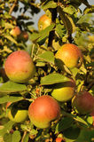 Branch of apple tree Stock Photos