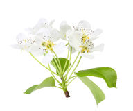 Branch of apple tree with leaf and white flowers Stock Images