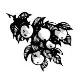 Branch of apple tree with leaves and fruit, monochrome hand drawn illustration Stock Image