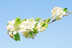 Branch of apple tree with many flowers over blue sky Royalty Free Stock Photography