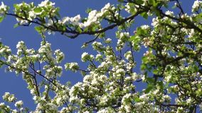 Branch of apple tree with many flowers. Over blue sky stock video