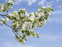 Branch of apple tree with many flowers Royalty Free Stock Photography