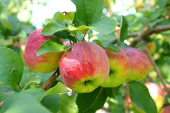 Branch of apple tree with many ripe apples Stock Image