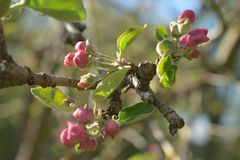 Branch of apple tree in blooming royalty free stock photo