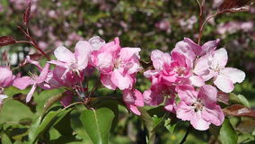 Branch apple tree with pink flowers swaying in the wind. Sunny day stock video footage