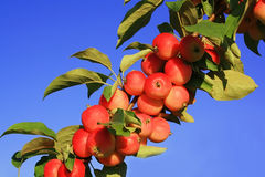 Branch of apple-tree with red apples. Against the blue sky Royalty Free Stock Photography