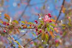 Branch of apple tree in spring Stock Image