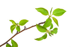 Branch apple tree with spring buds. Isolated on white Stock Image