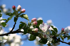 Branch of an apple tree in the spring. Stock Image
