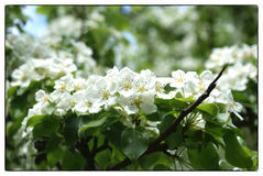 Branch apple tree, thickly dotted with white flowers, spring Royalty Free Stock Images