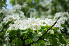 Branch apple tree, thickly dotted with white flowers, spring Stock Photo