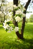 A branch of an apple tree with white flowers, in an orchard on a spring day, closeup royalty free stock image