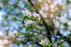 Branch of apple tree with white flowers in spring Stock Photo