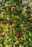 Branch of apple trees bending under the weight of fruit. Autumn orchard royalty free stock image