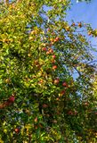 Branch of apple trees bending under the weight of fruit. Autumn orchard stock images
