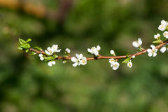 Branch of apple with white flowers Stock Photo