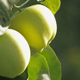 Branch with apples Royalty Free Stock Images