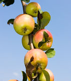 Branch with apples. Ripe apples in the orchard, fresh fruits from italy Stock Photos