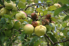 Branch of apples Stock Photography