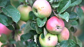 A branch of apples in the wind. Close-up. UHD - 4K. A branch of apples in the wind. Close-up stock footage