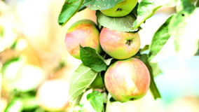A branch of apples in the wind. Close-up. UHD - 4K. A branch of apples in the wind. Close-up stock video footage