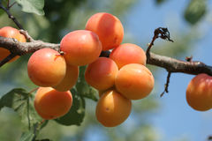 Branch of apricot Stock Photo