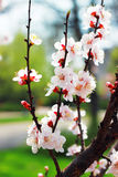 Branch with apricot flowers Stock Photo