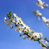 Branch with apricot flowers Stock Photography