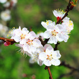 Branch with apricot flowers Stock Images