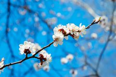 Branch of the apricot tree Stock Photography