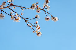 A branch of an apricot tree against the sky. A branch of an apricot tree with flowers on a sky background Royalty Free Stock Image
