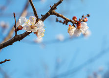 A branch of an apricot tree against the sky. A branch of an apricot tree with flowers on a sky background Stock Images