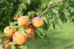 Branch of apricot tree Royalty Free Stock Photography