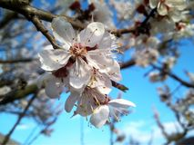 Branch with blooming white flowers apricot tree royalty free stock photos