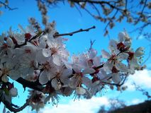 Branch with blooming white flowers apricot tree stock image
