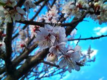 Branch with blooming white flowers apricot tree royalty free stock image