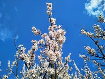 Branch with blooming white flowers apricot tree stock photo