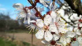 Branch with blooming white flowers apricot tree royalty free stock images