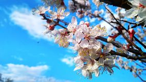 Branch with blooming white flowers apricot tree royalty free stock photo
