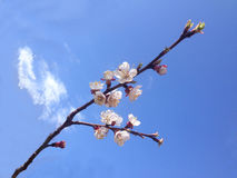 Branch of apricot tree with blossoming flowers stock photos