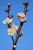 Branch of apricot tree with flowers Stock Image