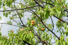 Branch of an apricot tree with ripe fruits against solid blue sky in summer. Green leaves on tree Royalty Free Stock Photos