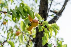 Branch of an apricot tree with ripe fruits against solid blue sky in summer. Green leaves on tree stock photo