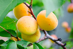 Branch with apricots. Green branch with ripe yellow apricots royalty free stock photo