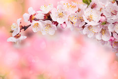 A branch of apricots. On a pink background Stock Image