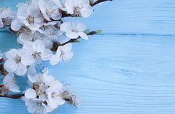 Branch april of blossoming cherry, frame on a blue wooden background. Branch of blossoming cherry april , on a blue wooden background decoration frame Stock Photos