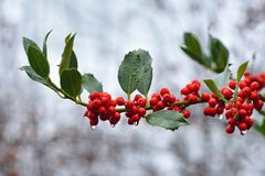 Branch of Aquifoliaceaev Ilex common Holly cultivar JC van Tol plant with red berries and falling raindrops royalty free stock photos