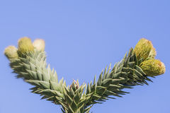 Branch of araucaria Stock Photo